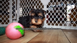 Super Cute Yorkie Puppies for sale Atlanta Georgia