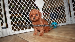 Super Cute Cavapoo Puppies for sale Atlanta Georgia