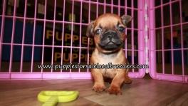 Happy Bullshih Puppies for sale Atlanta Georgia