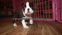 Happy Boston Terrier Puppies for sale Atlanta Georgia