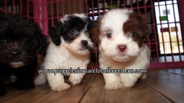 Happy Shih Poo Puppies for sale Atlanta Georgia
