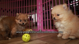Happy Pomeranian Puppies for sale Atlanta Georgia