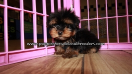 Happy Yorkie Puppies for sale Atlanta Georgia