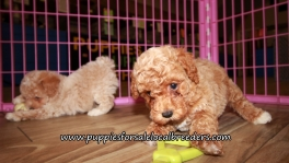 Happy Poodle Puppies for sale Atlanta Georgia
