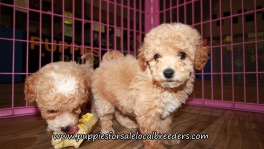 Happy Bichon Poo Puppies for sale Atlanta Georgia