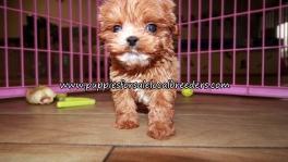 Happy Cavapoo Puppies for sale Atlanta Ga