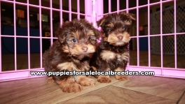 Very Pretty Yorkie Puppies for sale Atlanta Georgia