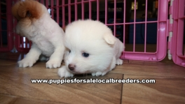 Very Pretty Pomeranian Puppies for sale Atlanta Georgia