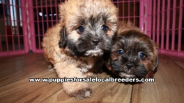 Very Pretty Shih Poo Puppies for sale Atlanta Georgia
