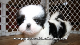 Very Beautiful Shih Tzu Puppies for sale Atlanta Georgia