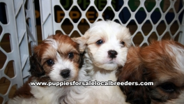 Very Beautiful Cavachon Puppies for sale Atlanta Georgia
