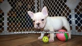 Very Beautiful French Bulldog Puppies for sale Atlanta Georgia