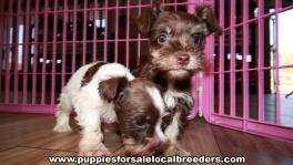 Lovable Mini Schnauzer Puppies for sale Atlanta Georgia