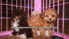 Lovable Maltipoo Puppies for sale Atlanta Georgia