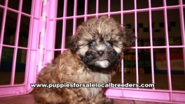 Lovable Shihpoo Puppies for sale Atlanta Georgia