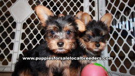Lovable Yorkie Puppies for sale Atlanta Georgia