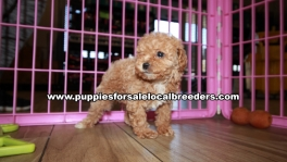 Lovable Poodle Puppies for sale Atlanta Georgia
