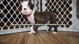 Baby Boston Terrier Puppies for sale Atlanta Georgia