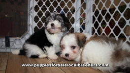 Baby Morkie Puppies for sale Atlanta Georgia