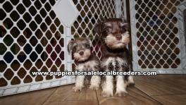 Baby Mini Schnauzer Puppies for sale Atlanta Georgia