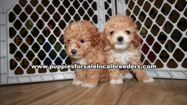 Baby Maltipoo Puppies for sale Atlanta Georgia