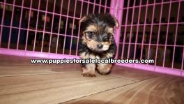 Perfect Little Yorkie Puppies for sale Atlanta Georgia