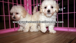 Perfect Maltipoo Puppies for sale Atlanta Georgia