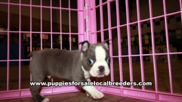Perfect Blue Boston Terrier Puppies for sale Atlanta Georgia