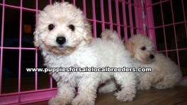 Lovely Bichon Poo Puppies for sale Atlanta Georgia