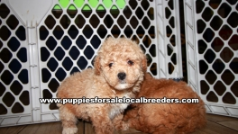 Lovely Poodle Puppies for sale Atlanta Georgia