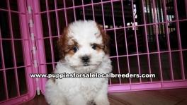 Lovely Shih Poo Puppies for sale Atlanta Georgia
