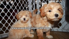 Lovely Cavapoo Puppies for sale Atlanta Georgia