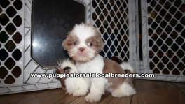 Playful Shih Tzu Puppies for sale Atlanta Georgia
