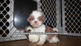 Playful Shih Tzu Puppies for sale Atlanta Georgia
