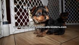 Playful Yorkie Puppies for sale Atlanta Georgia