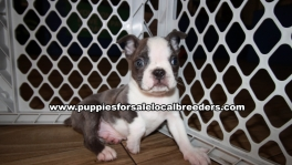 Playful Boston Terrier Puppies for sale Atlanta Georgia