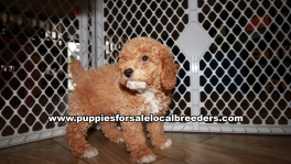 Playful Poodle Puppies for sale Atlanta Georgia