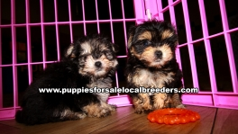 Microchiped Morkie Puppies for sale Atlanta Georgia
