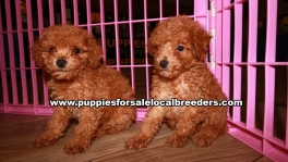 Microchiped BichonPoo Puppies for sale Atlanta Georgia