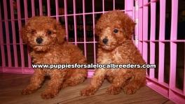 Microchiped BichonPoo Puppies for sale Atlanta Georgia
