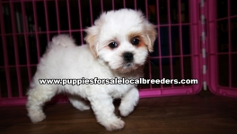 Microchiped Shih Poo Puppies for sale Atlanta Georgia