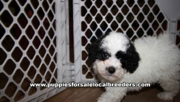 Beautiful Poodle Puppies for sale near Atlanta Georgia