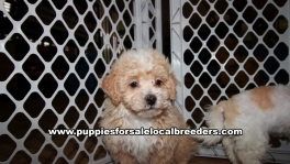 Beautiful Maltipoo Puppies for sale near Atlanta Georgia