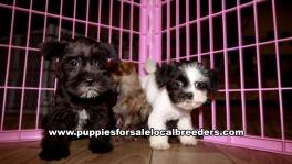 Small Mini Schnauzer Puppies For Sale Georgia Near Atlanta