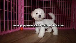 Small Maltipoo Puppies For Sale Georgia Near Atlanta