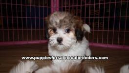 Small Malti Tzu Puppies For Sale Georgia Near Atlanta