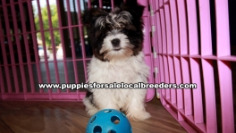 Small Yorkie Puppies For Sale Georgia Near Atlanta