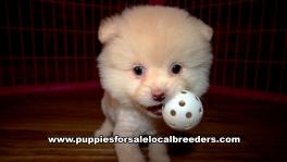 Small Pomeranian Puppies For Sale Georgia Near Atlanta