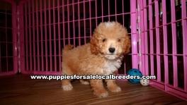 Small Bichon Poo Puppies For Sale Georgia Near Atlanta
