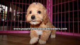 Adorable Bichon Poo Puppies For Sale Georgia Near Atlanta